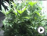 Flowering Marijuana Buds Complete Harvest Step by Step - http